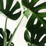 Green monstera leaves