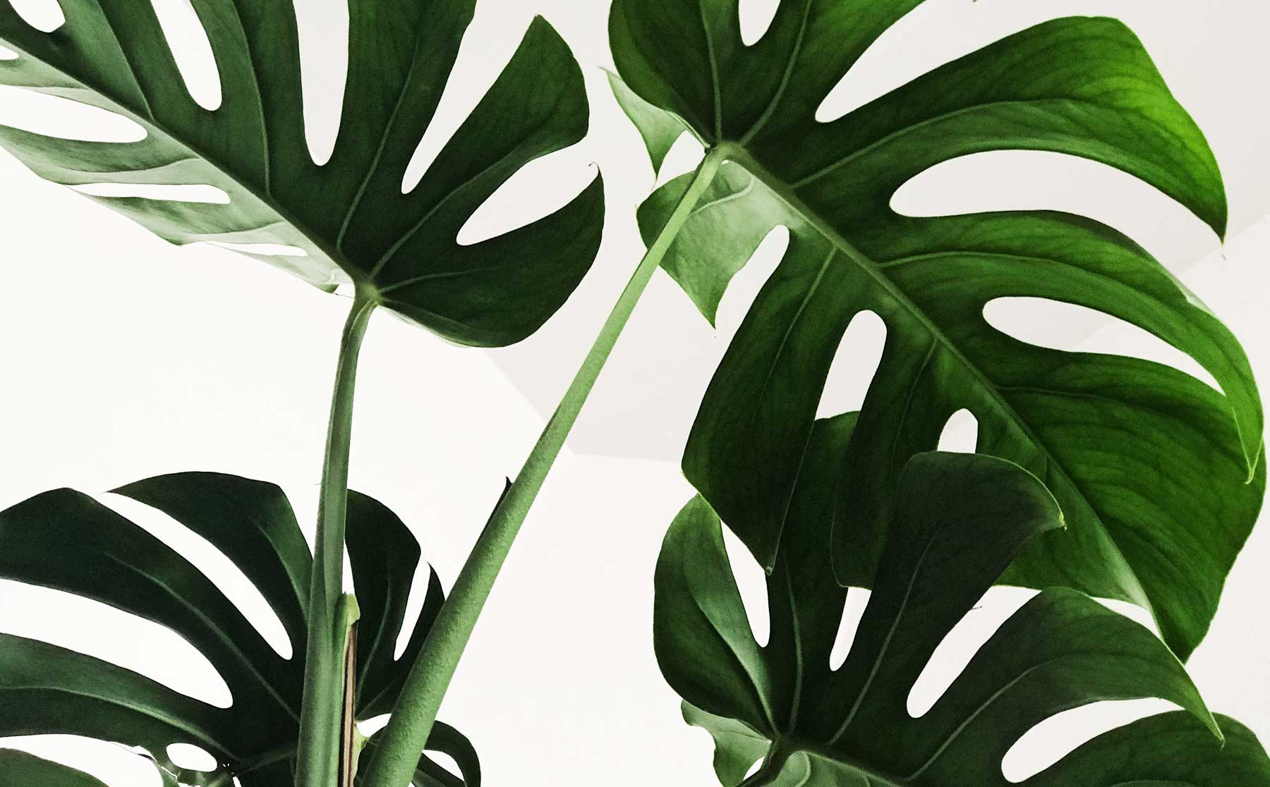 Green monstera leaves