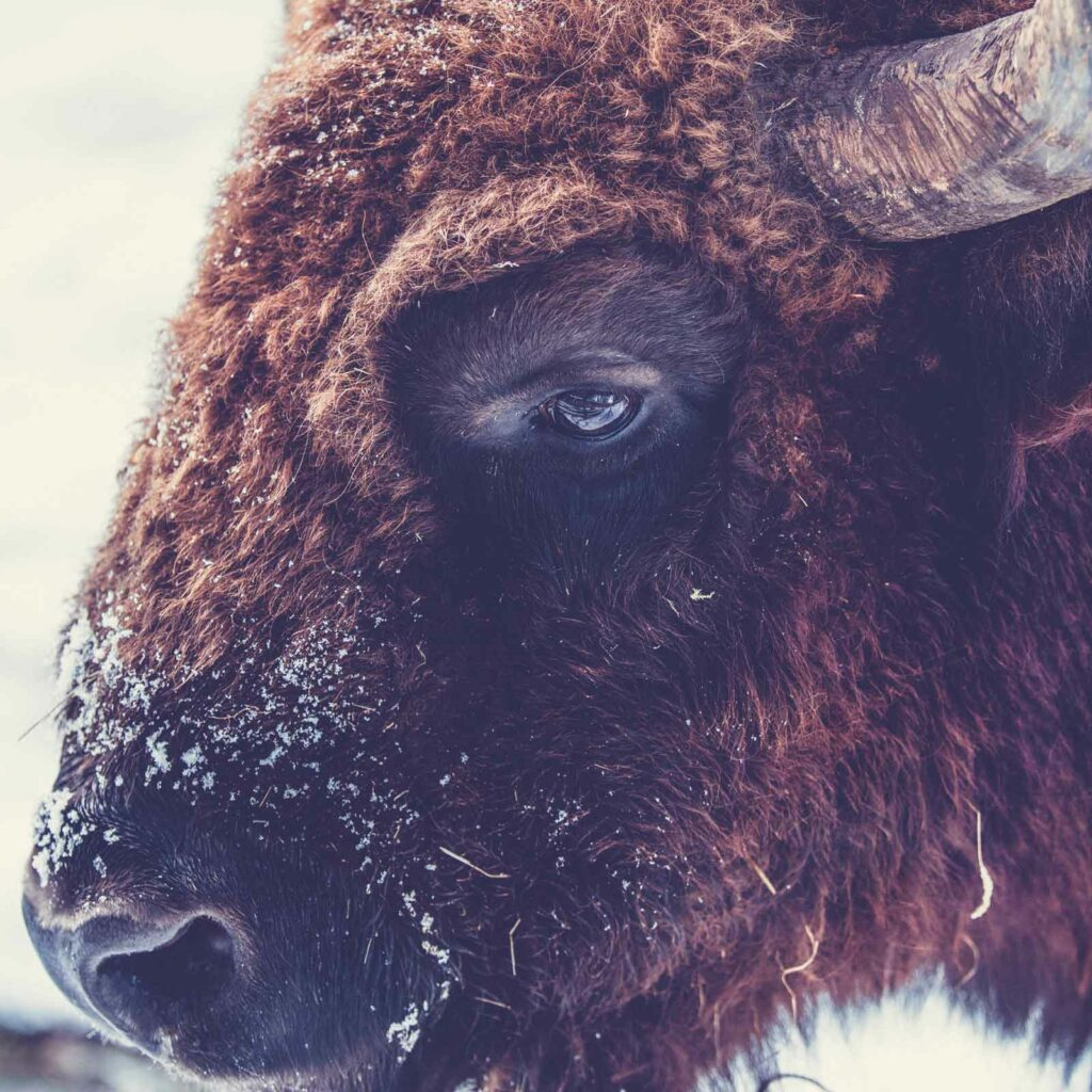 Portrait of a buffalo – Shave your hairy goals. Photo by Markus Spiske